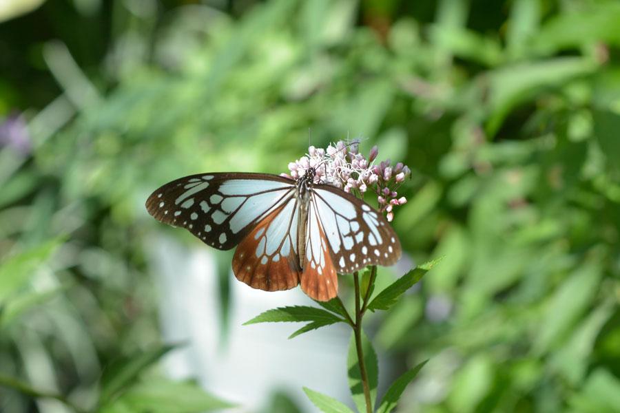 羽を広げてピンクのフジバカマの蜜を吸うアサギマダラ